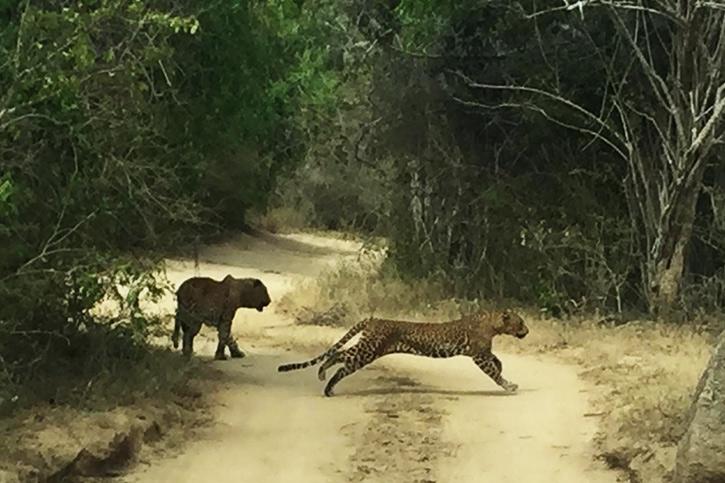 Leopard, yale national park