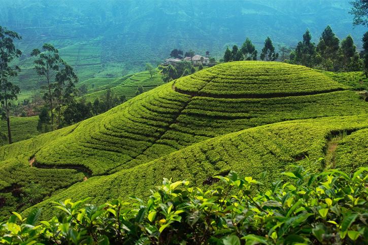 Tea state ,Nuwaraeliya